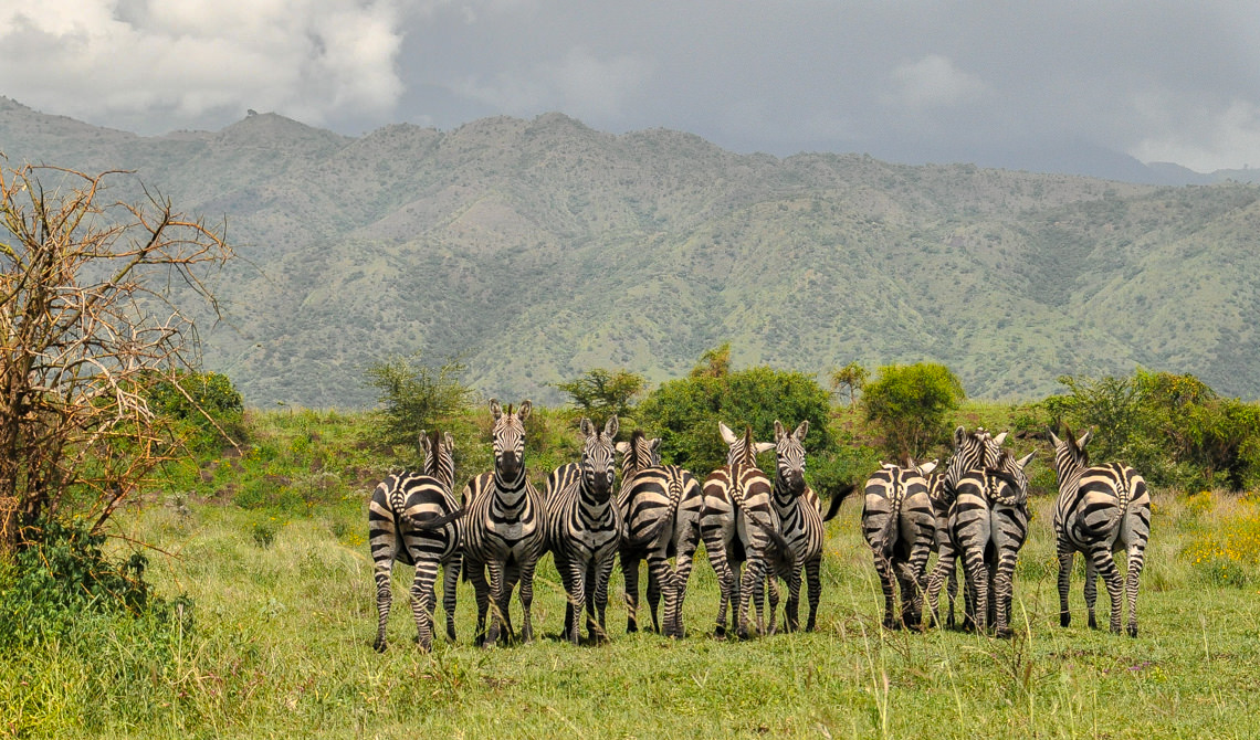 Stalking zebras at Nechisar National Park, Ethiopia 2012. Photos